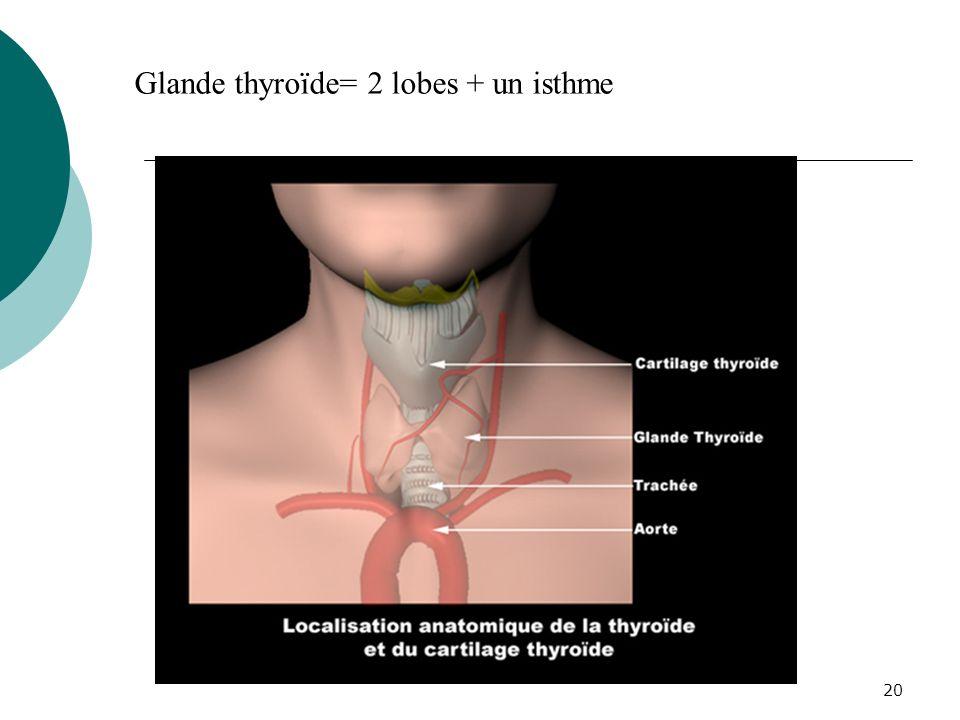 Glande thyroïde= 2 lobes + un isthme