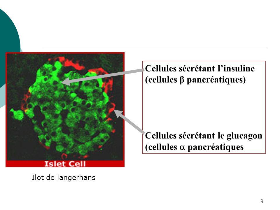 Cellules sécrétant l'insuline (cellules β pancréatiques)