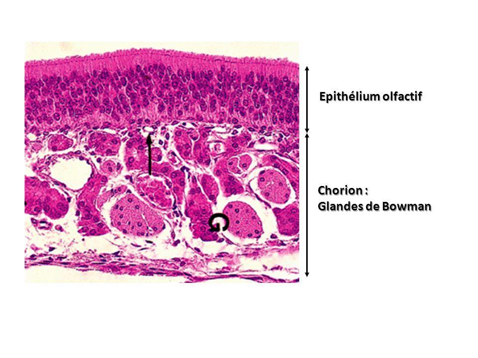 Epithélium olfactif Chorion : Glandes de Bowman