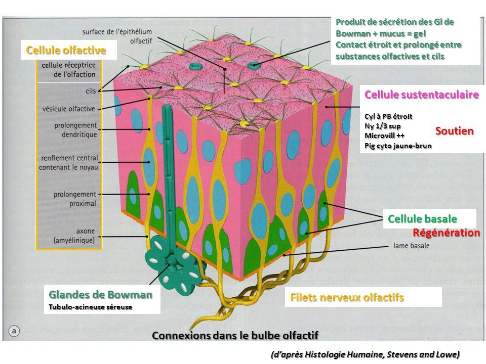 Cellule sustentaculaire