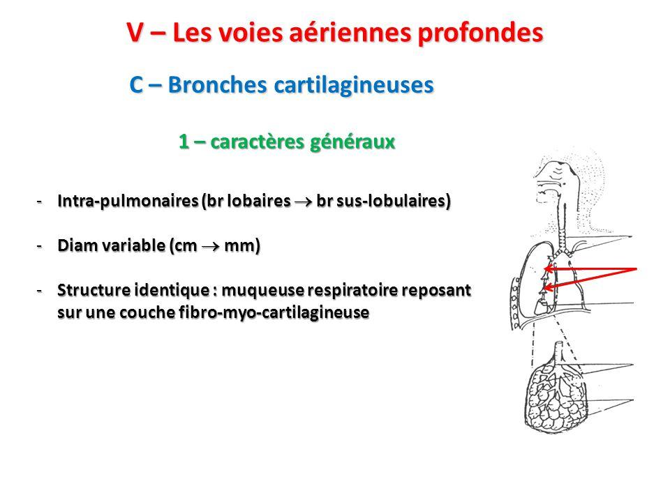 V – Les voies aériennes profondes C – Bronches cartilagineuses