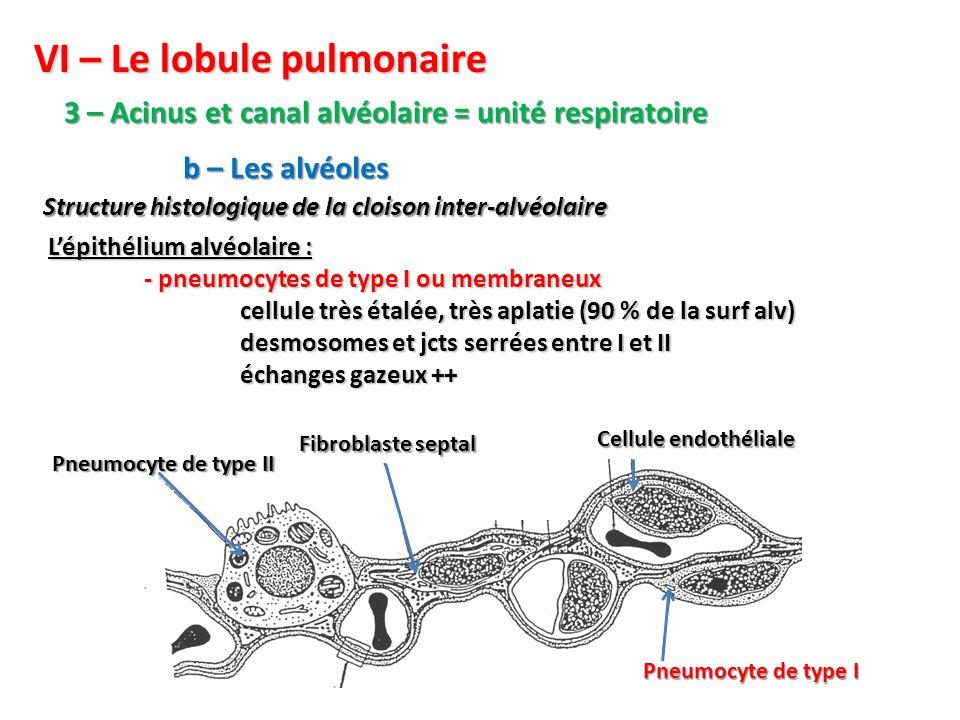 VI – Le lobule pulmonaire
