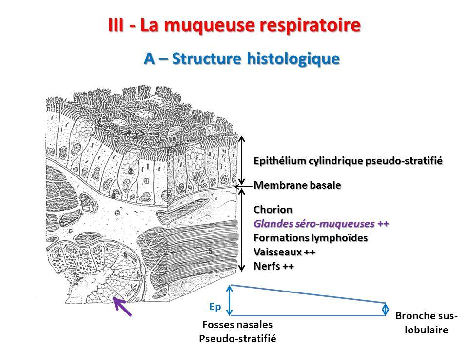 III - La muqueuse respiratoire