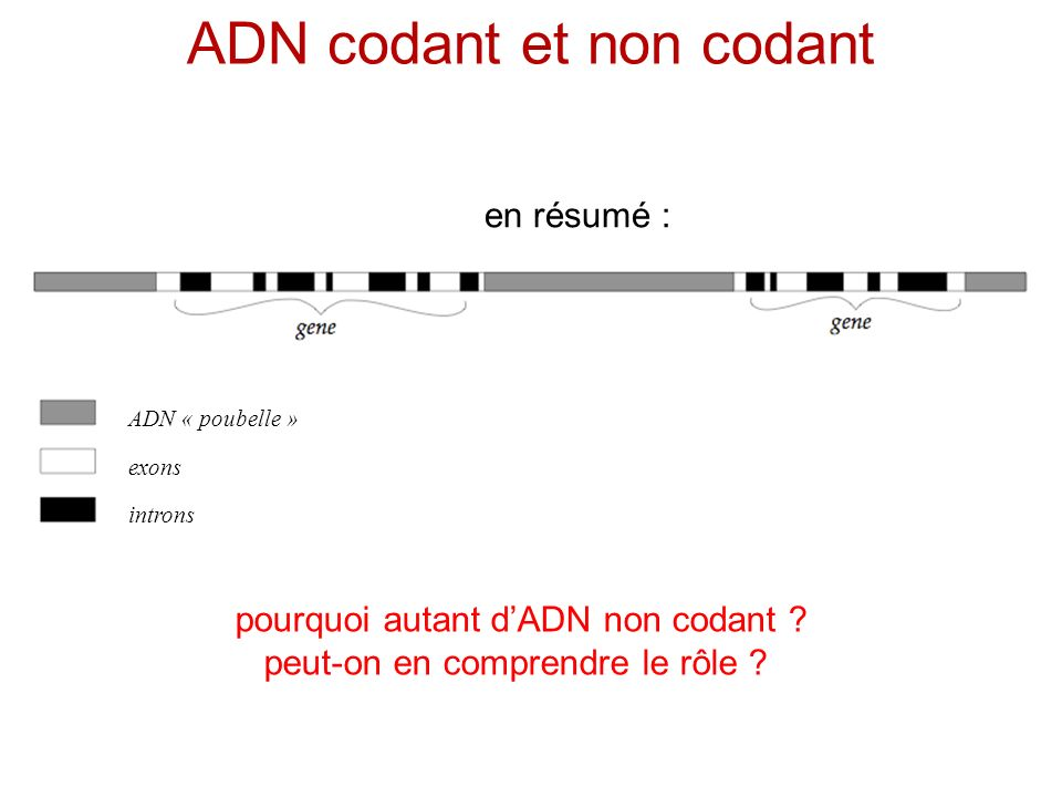 ADN codant et non codant