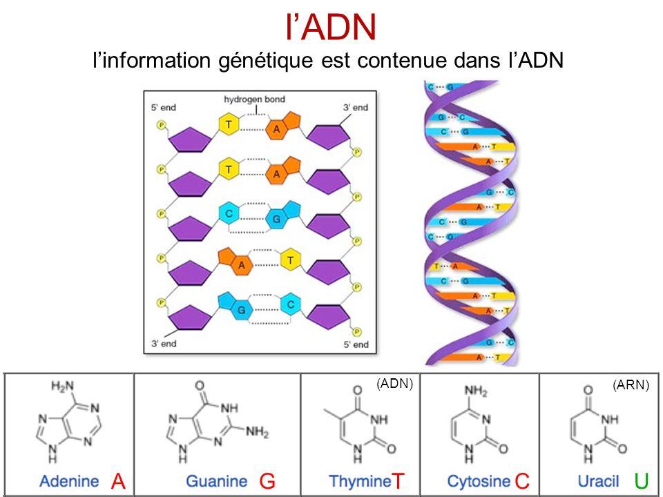 l'information génétique est contenue dans l'ADN