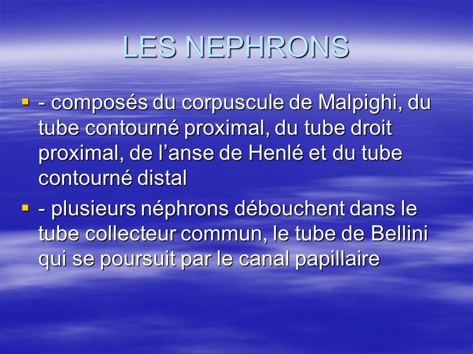 LES NEPHRONS - composés du corpuscule de Malpighi, du tube contourné proximal, du tube droit proximal, de l'anse de Henlé et du tube contourné distal.