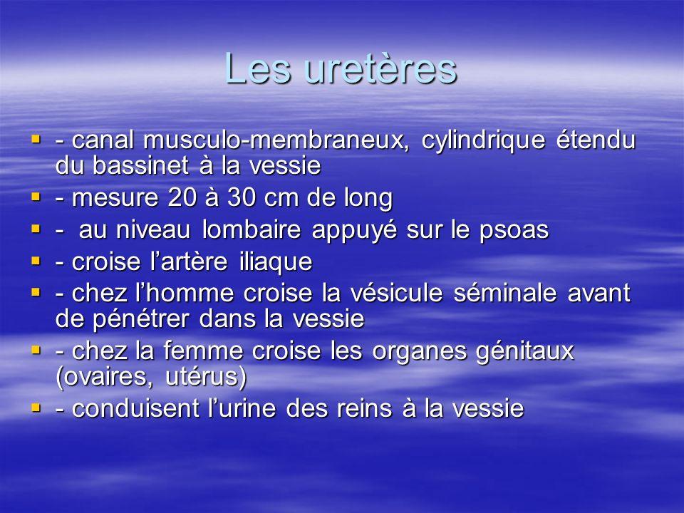 Les uretères - canal musculo-membraneux, cylindrique étendu du bassinet à la vessie. - mesure 20 à 30 cm de long.