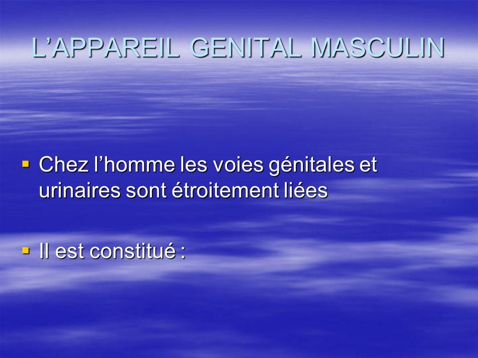 L'APPAREIL GENITAL MASCULIN