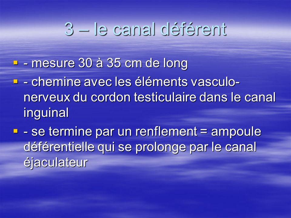 3 – le canal déférent - mesure 30 à 35 cm de long