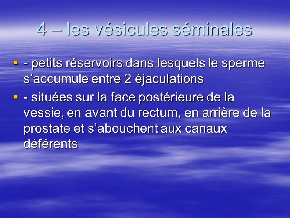 4 – les vésicules séminales