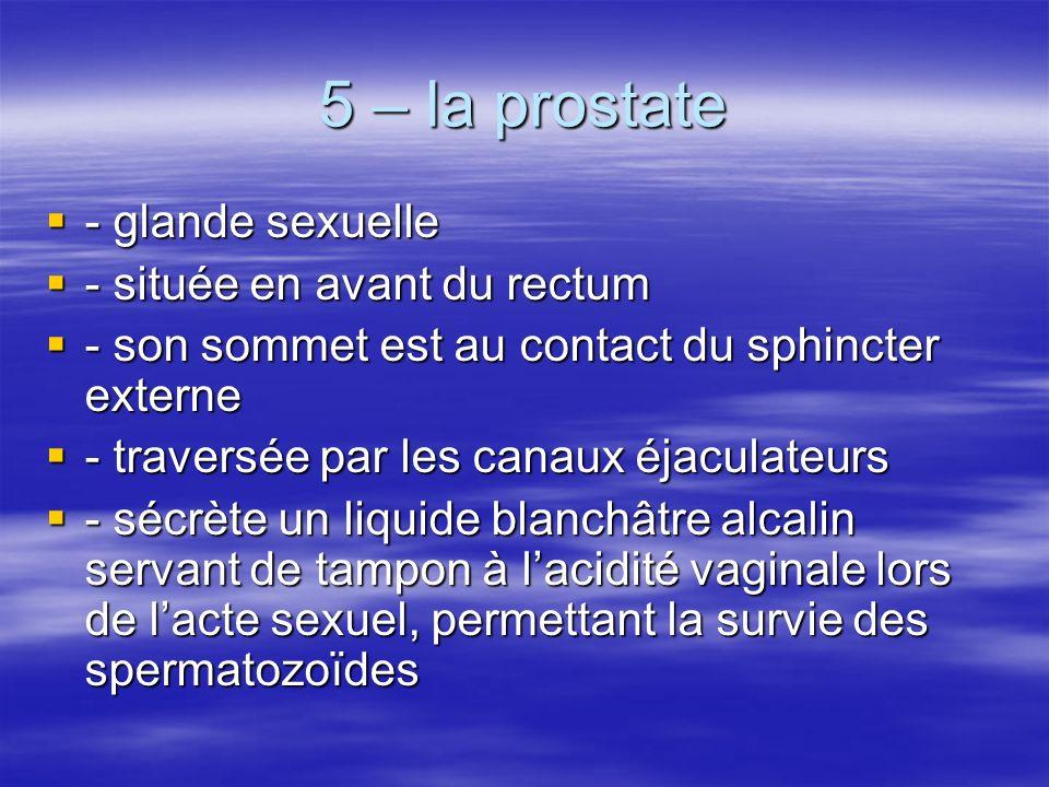 5 – la prostate - glande sexuelle - située en avant du rectum