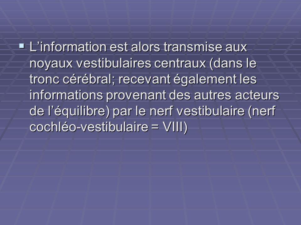 L'information est alors transmise aux noyaux vestibulaires centraux (dans le tronc cérébral; recevant également les informations provenant des autres acteurs de l'équilibre) par le nerf vestibulaire (nerf cochléo-vestibulaire = VIII)