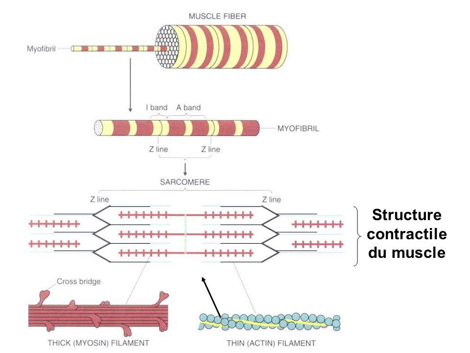 Structure contractile du muscle