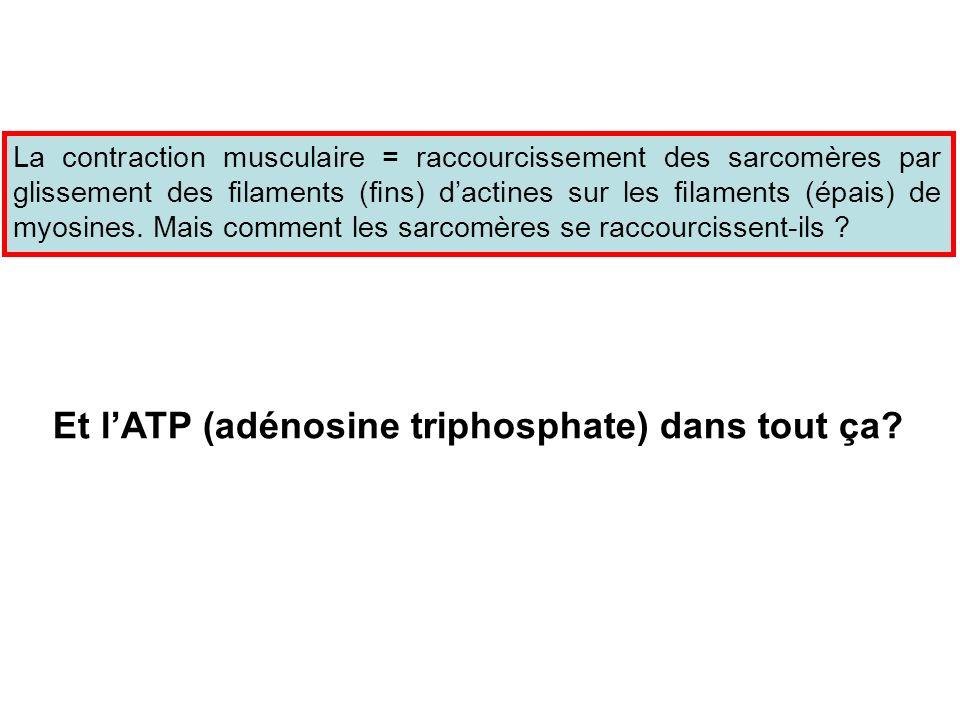 Et l'ATP (adénosine triphosphate) dans tout ça