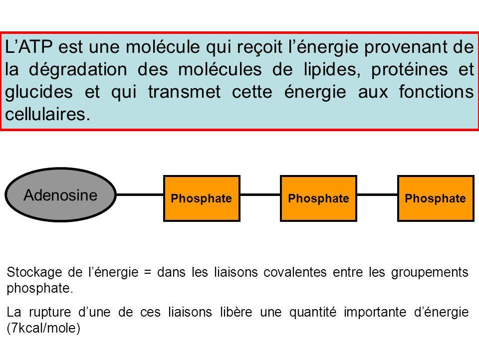 L'ATP est une molécule qui reçoit l'énergie provenant de la dégradation des molécules de lipides, protéines et glucides et qui transmet cette énergie aux fonctions cellulaires.