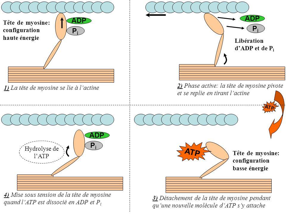 ATP ADP ADP Pi Pi ADP Pi Tête de myosine: configuration haute énergie