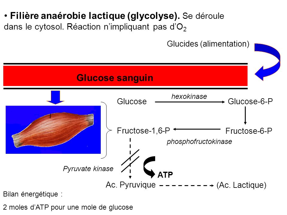 Filière anaérobie lactique (glycolyse). Se déroule dans le cytosol