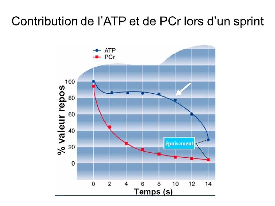 Contribution de l'ATP et de PCr lors d'un sprint