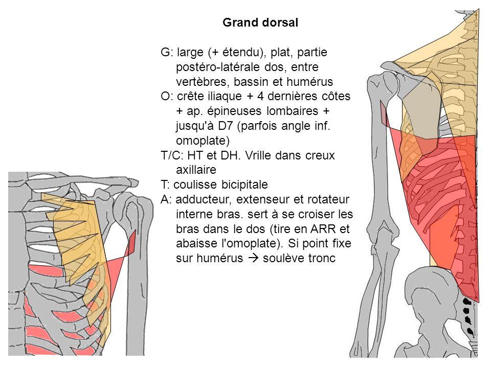 T/C: HT et DH. Vrille dans creux axillaire T: coulisse bicipitale