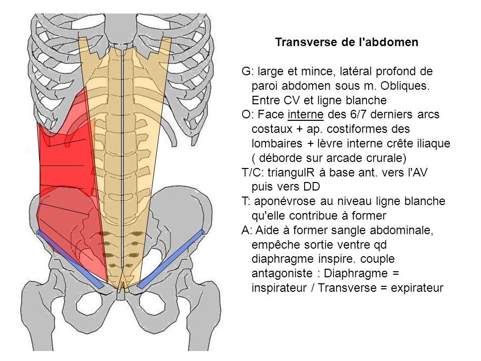 Transverse de l abdomen