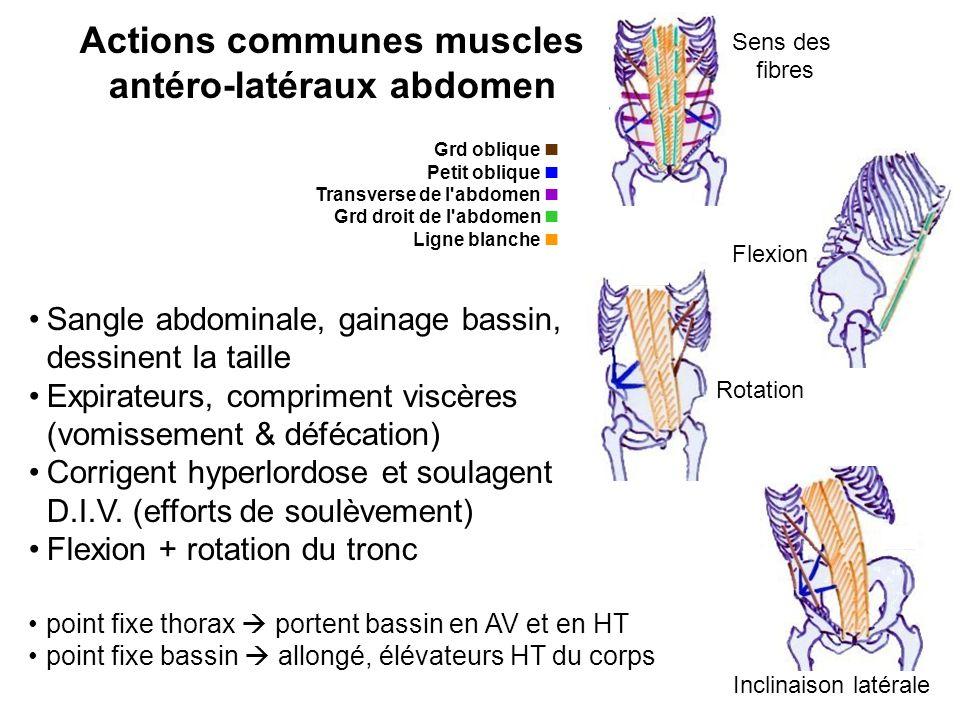 Actions communes muscles antéro-latéraux abdomen