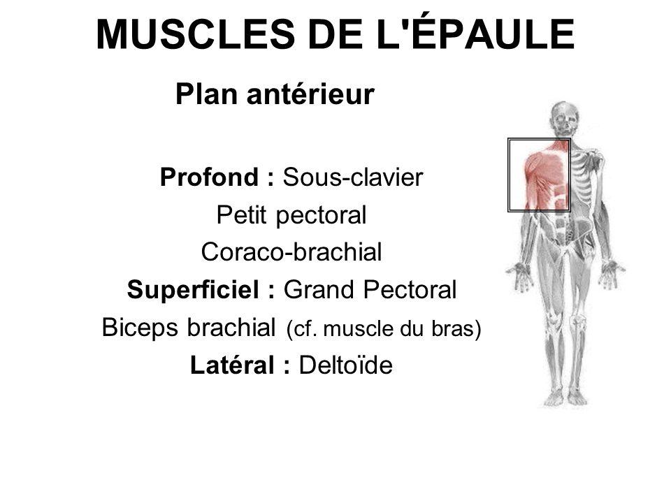 MUSCLES DE L ÉPAULE Plan antérieur Profond : Sous-clavier