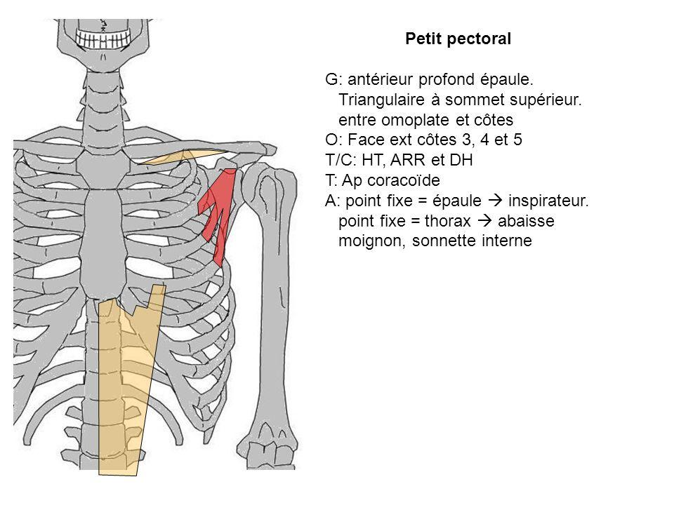 Petit pectoral G: antérieur profond épaule. Triangulaire à sommet supérieur. entre omoplate et côtes.