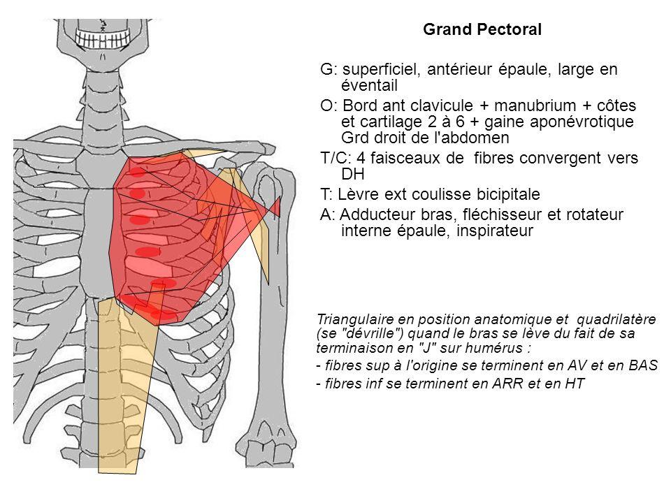 G: superficiel, antérieur épaule, large en éventail