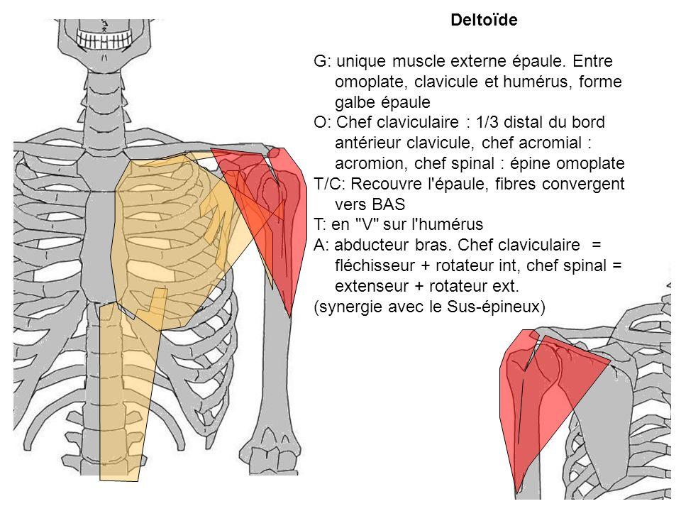 Deltoïde G: unique muscle externe épaule. Entre omoplate, clavicule et humérus, forme galbe épaule.
