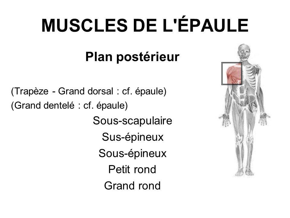 MUSCLES DE L ÉPAULE Plan postérieur Sous-scapulaire Sus-épineux