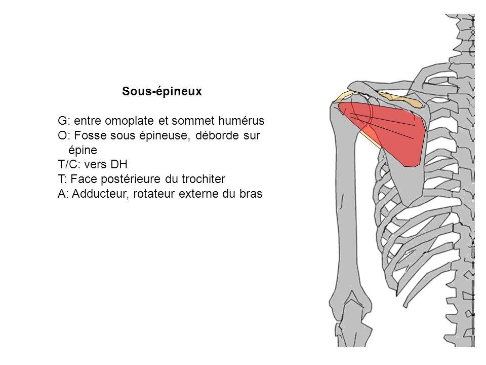 G: entre omoplate et sommet humérus