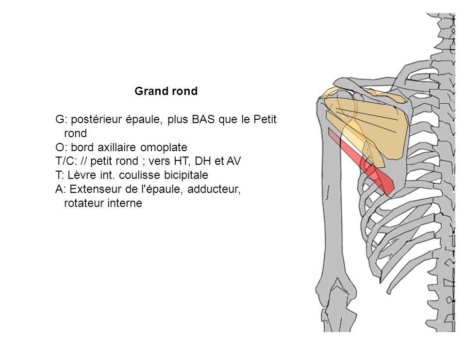 G: postérieur épaule, plus BAS que le Petit rond