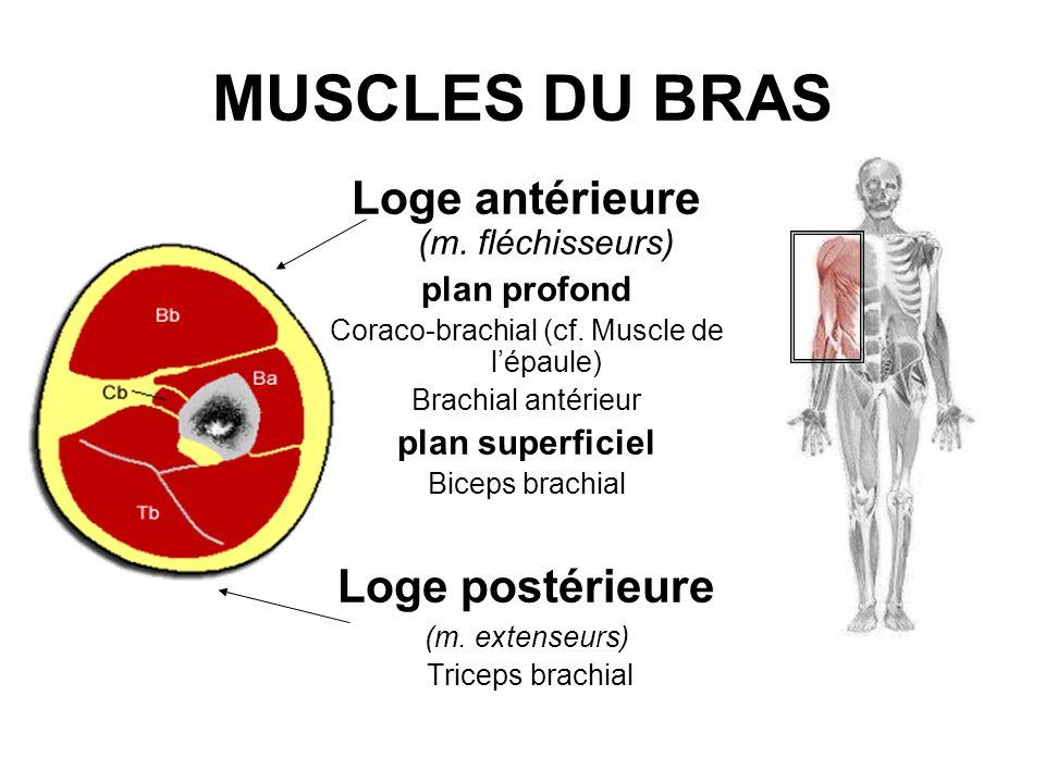 MUSCLES DU BRAS Loge antérieure (m. fléchisseurs) Loge postérieure
