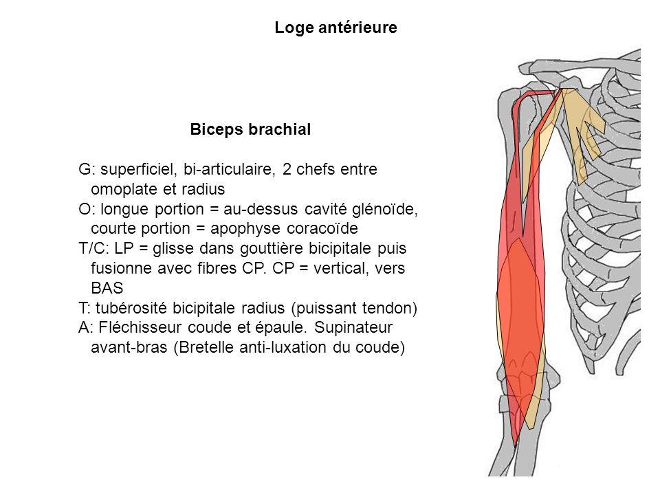G: superficiel, bi-articulaire, 2 chefs entre omoplate et radius