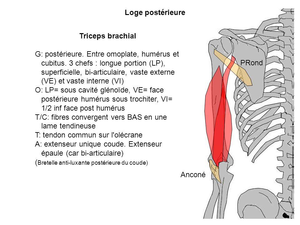 T/C: fibres convergent vers BAS en une lame tendineuse
