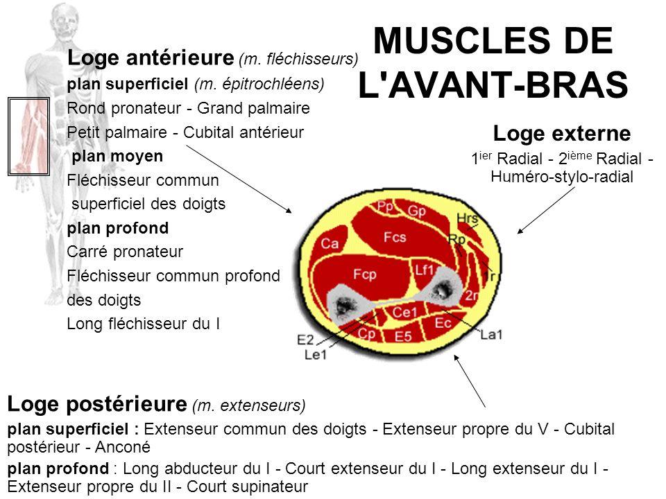 MUSCLES DE L AVANT-BRAS