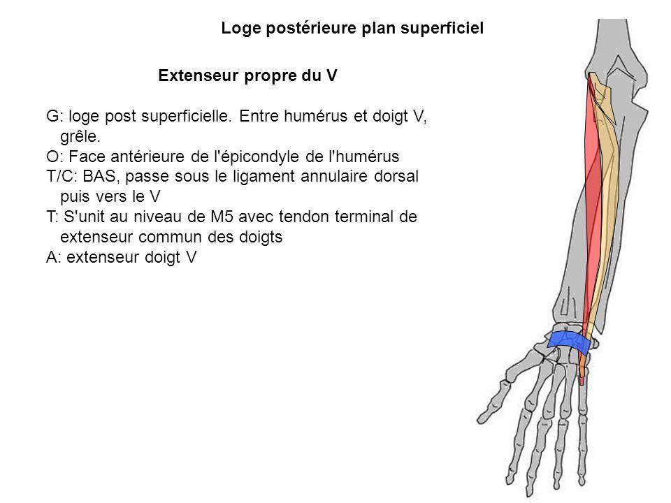 Loge postérieure plan superficiel