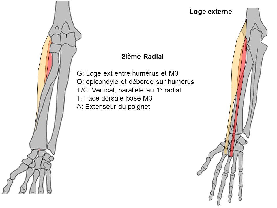 Loge externe2ième Radial. G: Loge ext entre humérus et M3. O: épicondyle et déborde sur humérus. T/C: Vertical, parallèle au 1° radial.