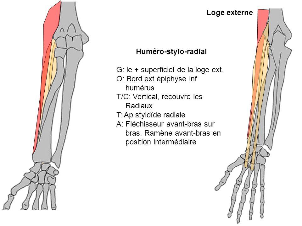 Loge externeHuméro-stylo-radial. G: le + superficiel de la loge ext. O: Bord ext épiphyse inf humérus.