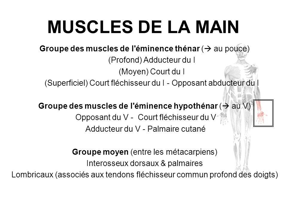 MUSCLES DE LA MAINGroupe des muscles de l éminence thénar ( au pouce) (Profond) Adducteur du I. (Moyen) Court du I.