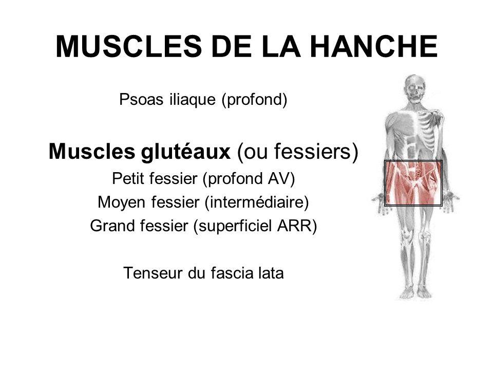 MUSCLES DE LA HANCHE Muscles glutéaux (ou fessiers)