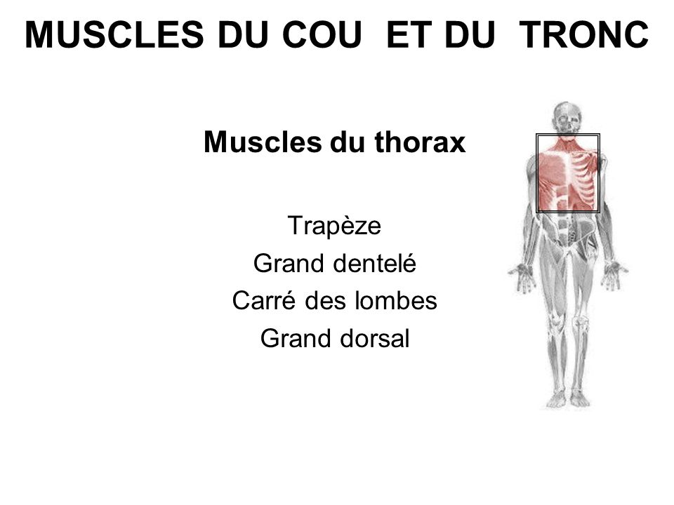 MUSCLES DU COU ET DU TRONC