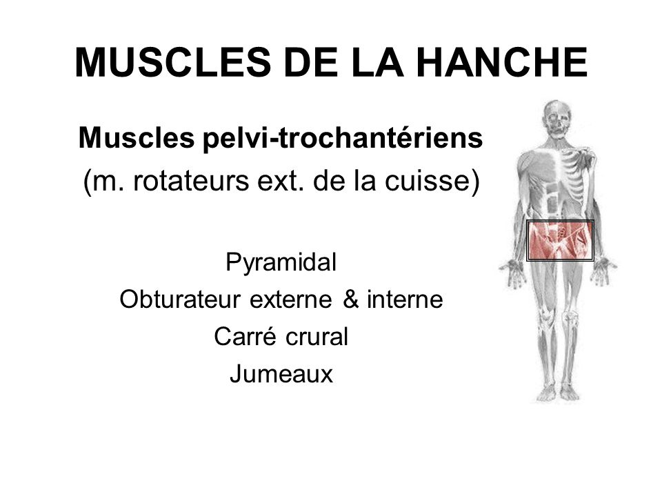 Muscles pelvi-trochantériens