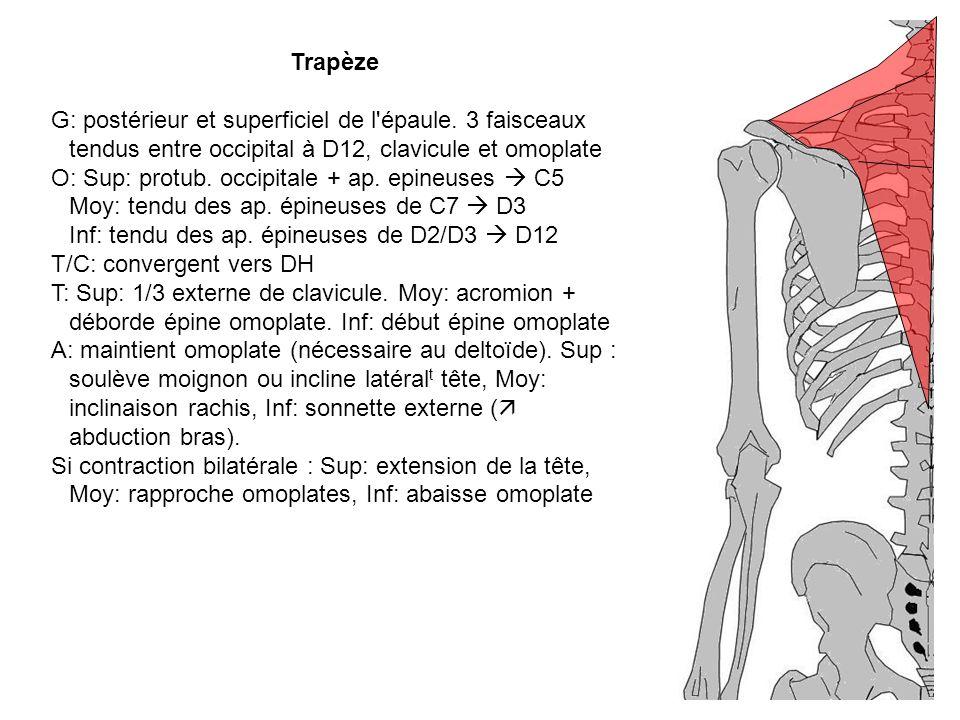 O: Sup: protub. occipitale + ap. epineuses  C5