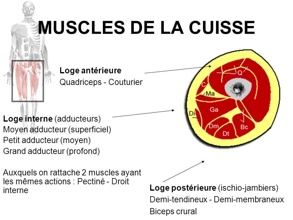MUSCLES DE LA CUISSE Loge antérieure Quadriceps - Couturier