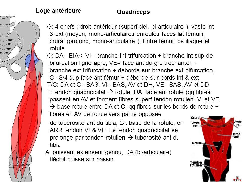 Loge antérieure Quadriceps.