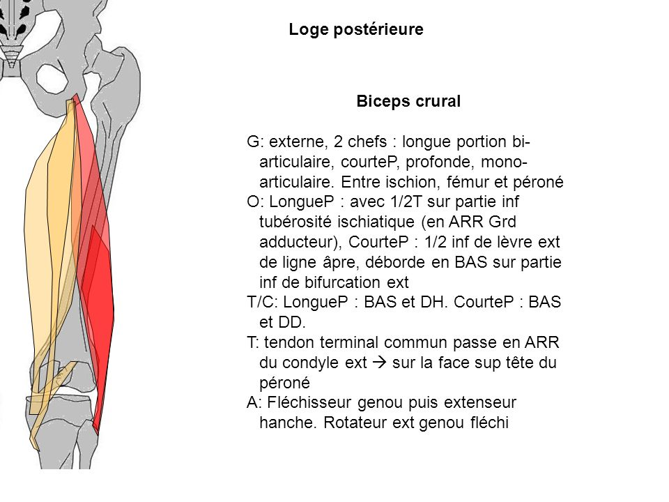 Loge postérieure Biceps crural.