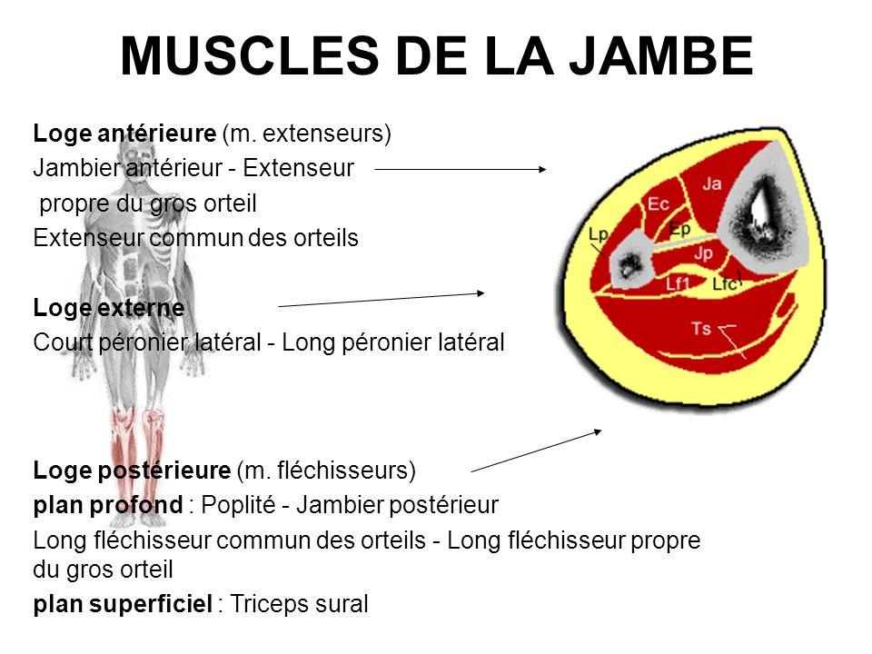 MUSCLES DE LA JAMBE Loge antérieure (m. extenseurs)