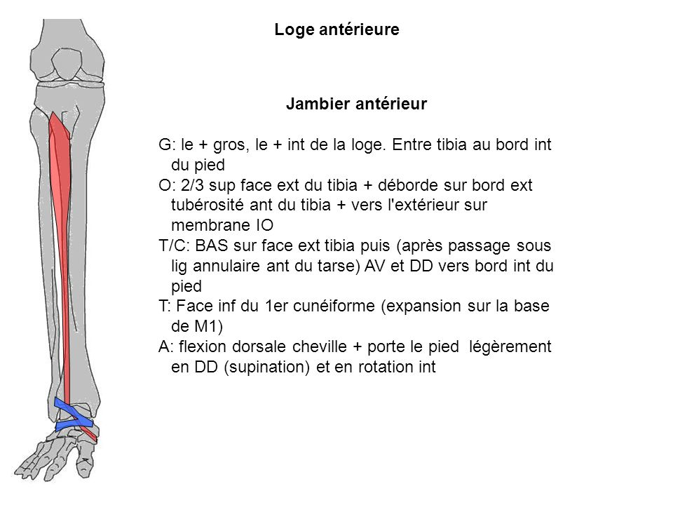 Loge antérieure Jambier antérieur. G: le + gros, le + int de la loge. Entre tibia au bord int du pied.