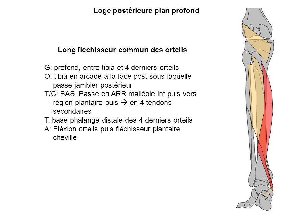 Loge postérieure plan profond Long fléchisseur commun des orteils